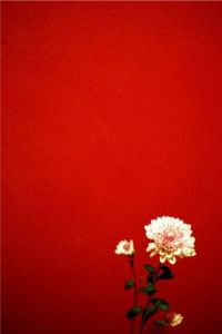 red wall white carnation